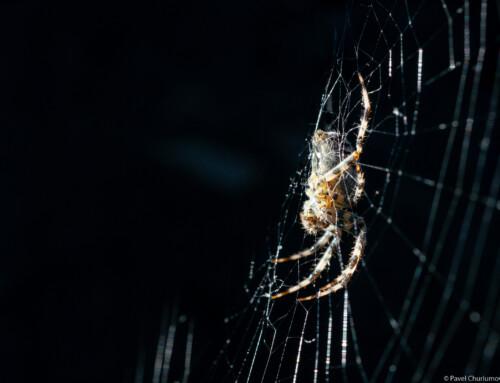 Spider #1
